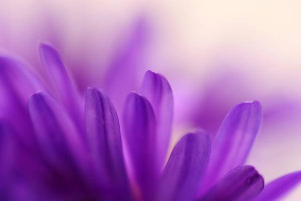 Tableau d co fleur violette izoa - Image fleur violette ...