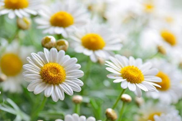 Fleur Bellis Perennis marguerites
