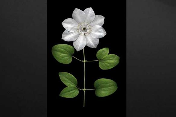 clématite fleur mural déco design
