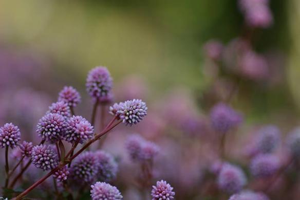 Tableau fleur Chardon Alpes