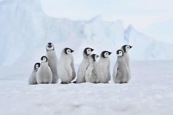 Troupe de pinguins banquise