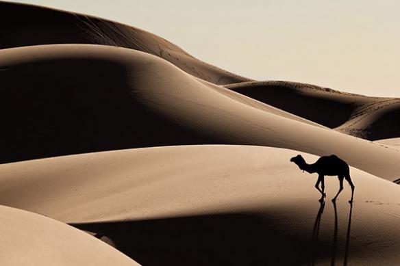 Papier peint photo Chameau dans le désert