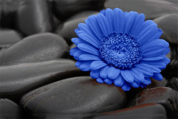 Papier Peint fleur Marguerite bleu
