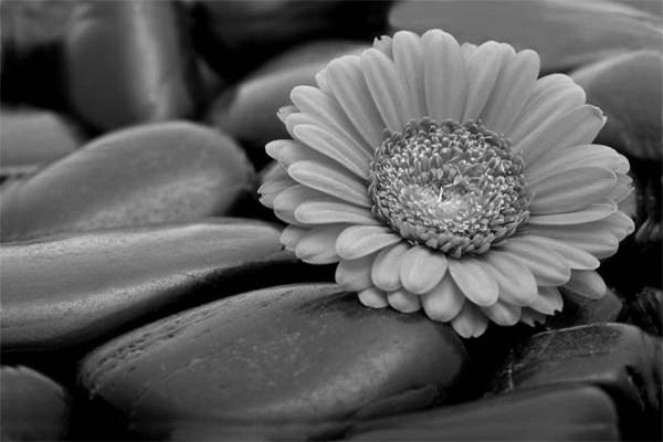 Papier Peint Fleur Marguerite Izoa