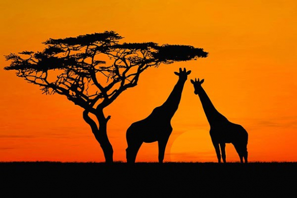 Papier Peint déco Dans la savane des girafes
