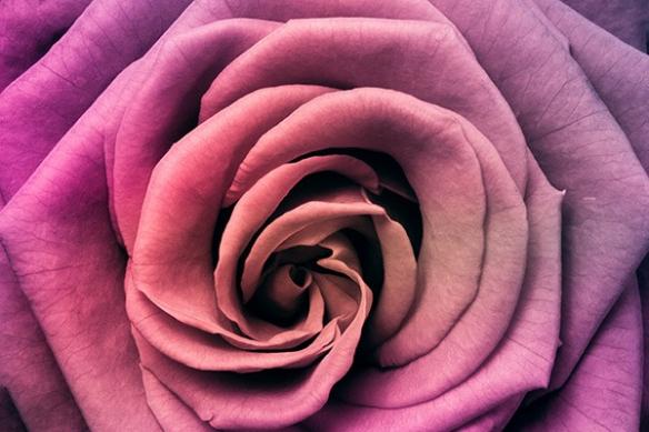 Toile décoration coeur de rose