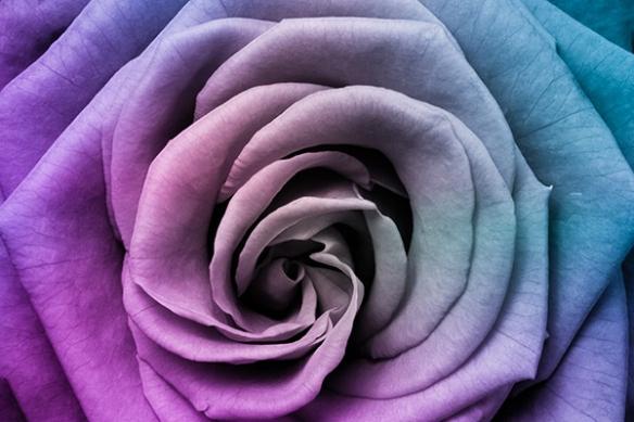 Tableau déco fleur coeur de rose