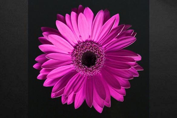 Toile décoration fleur rose