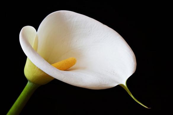 Toile décoration calla fleur
