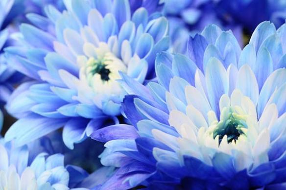 Tableau moderne fleur aster bleu