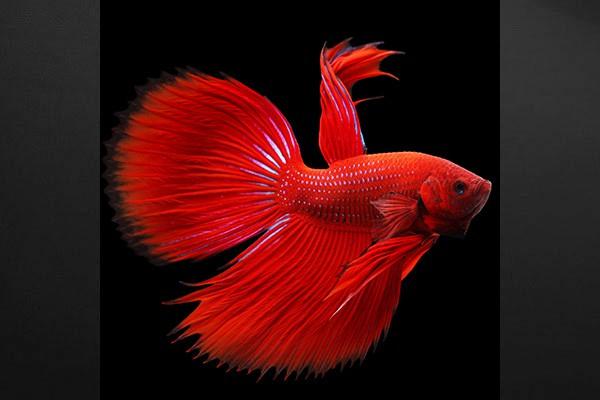 Tableau design poisson rouge combattant izoa for Deco poisson rouge