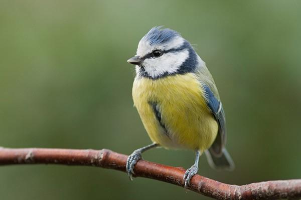 Tableau design oiseau jaune bleu izoa for Oiseau gris et blanc