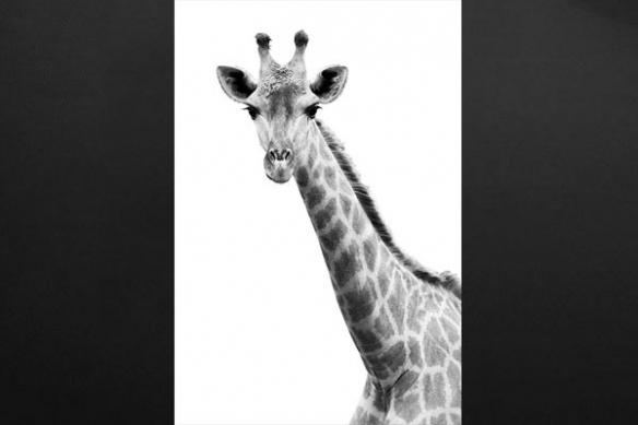 Toile imprimée Girafe noir et blanc