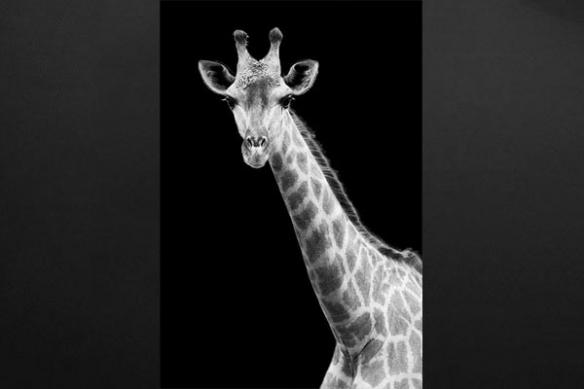 Toile déco Girafe noir et blanc