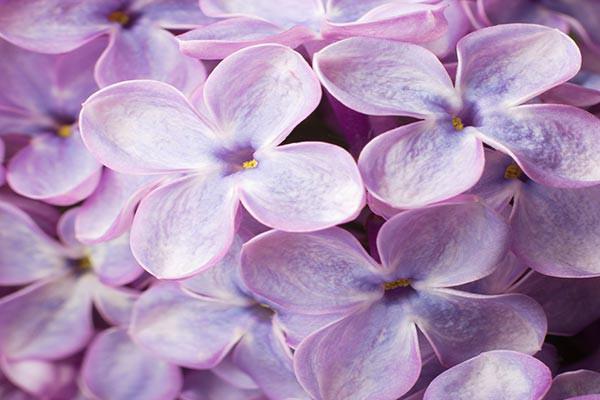 Tableau Fleur Lilas Delicats Izoa