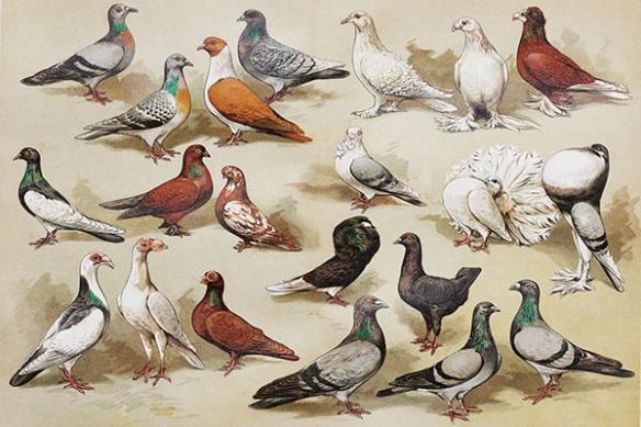 Tableau retro vintage Pigeons