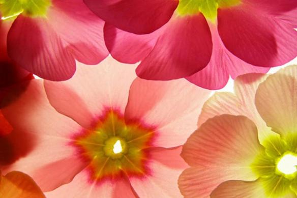 fleurs pensés colorés