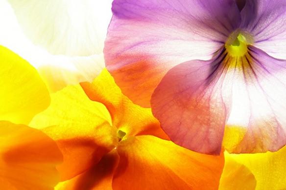 tableau déco fleur pensée