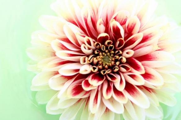 Décoration salon Fleur Dahlia rouge