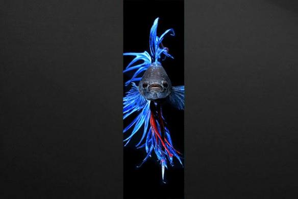 Papier peint lé original  Poisson Combattant bleu