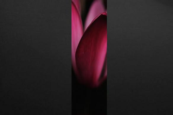 tapisserie chambre Pétales tulipes